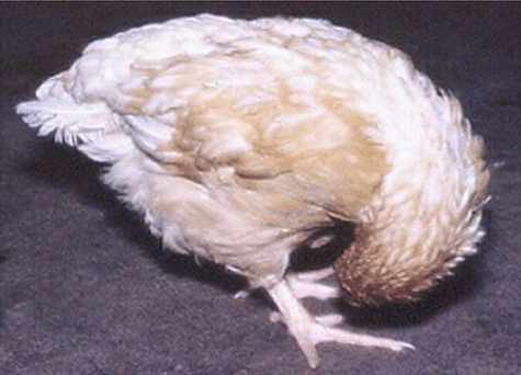 En Zongolica hay alerta sanitaria por la enfermedad de Newcastle que afecta a aves de traspatio. (1)