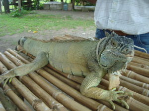 El primer garrobo de la UMA, Chicharito.